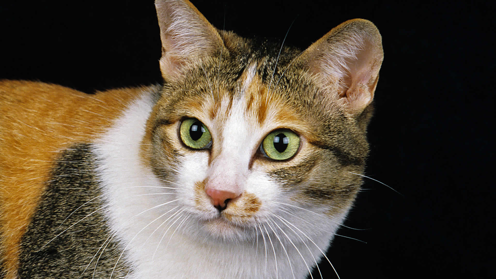 Japanese Bobtail breed is another that cat with yellow eyes that are large, round, and stand-out