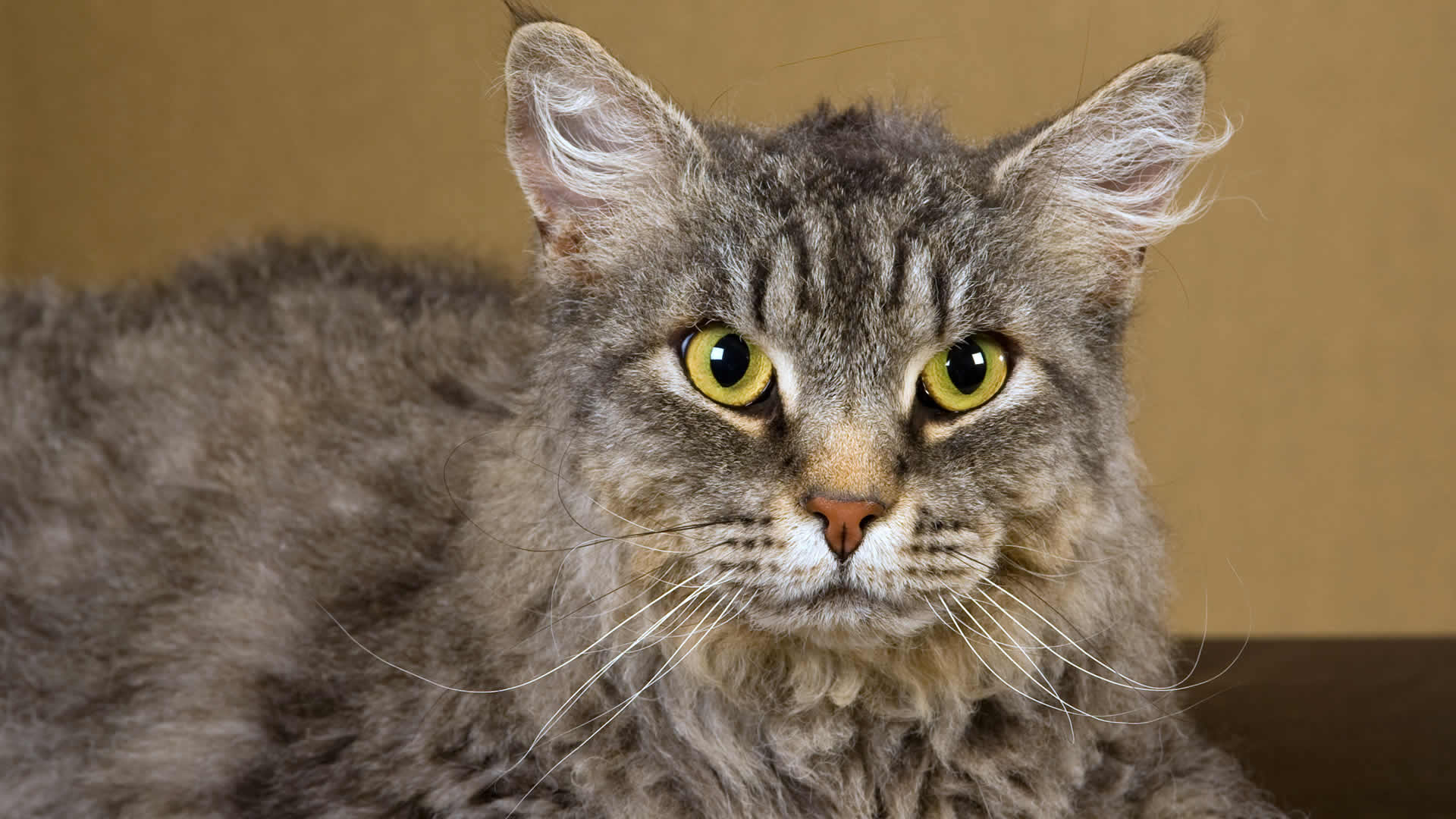 LaPerm cats are easily recognized by their curly, permed hairstyle which many owners instantly fall in love with