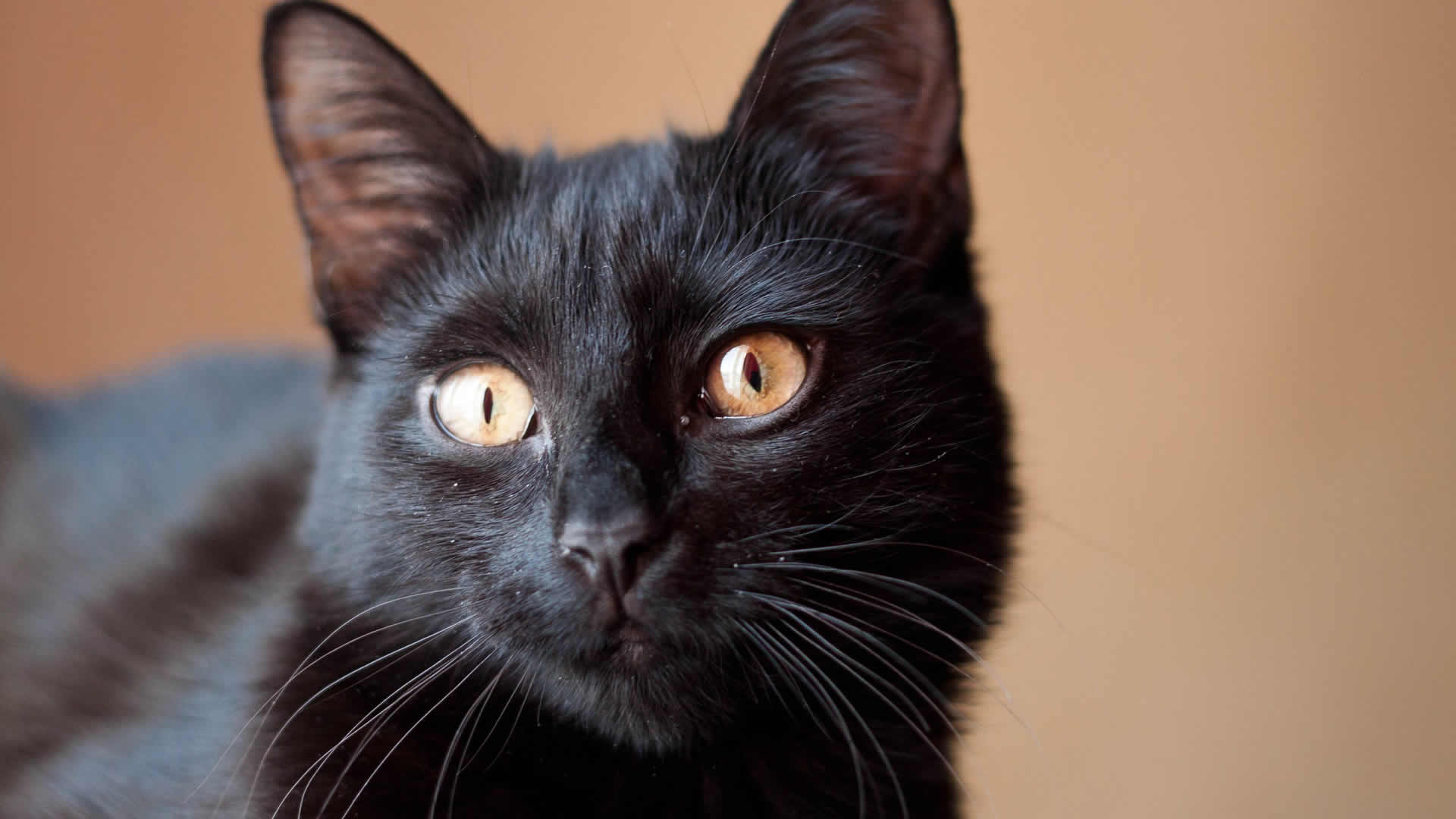 Like the wild panther, this breed also has bright and alert eyes