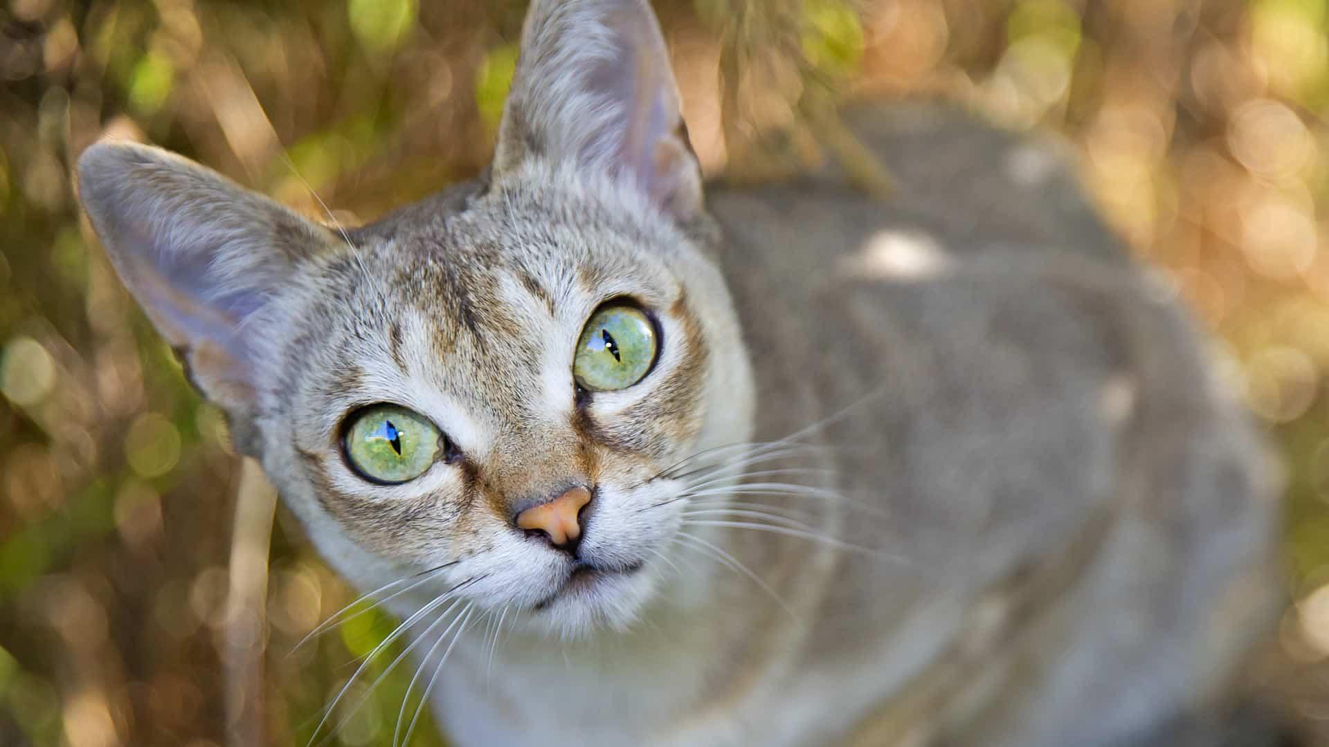 Many Singapura cats have yellow eyes
