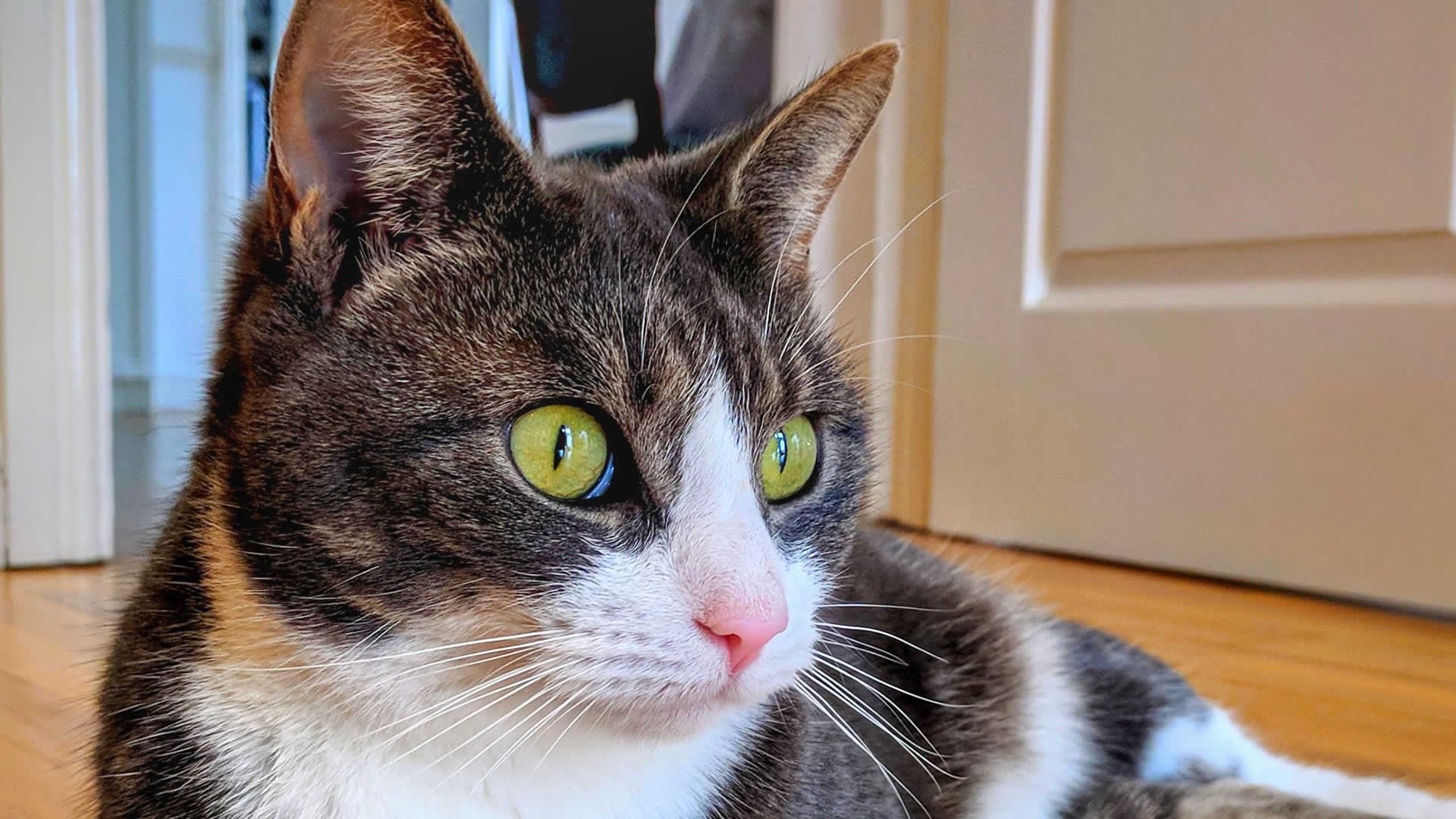 Most Manx cats will have yellow eyes, varying from golden to orange hues