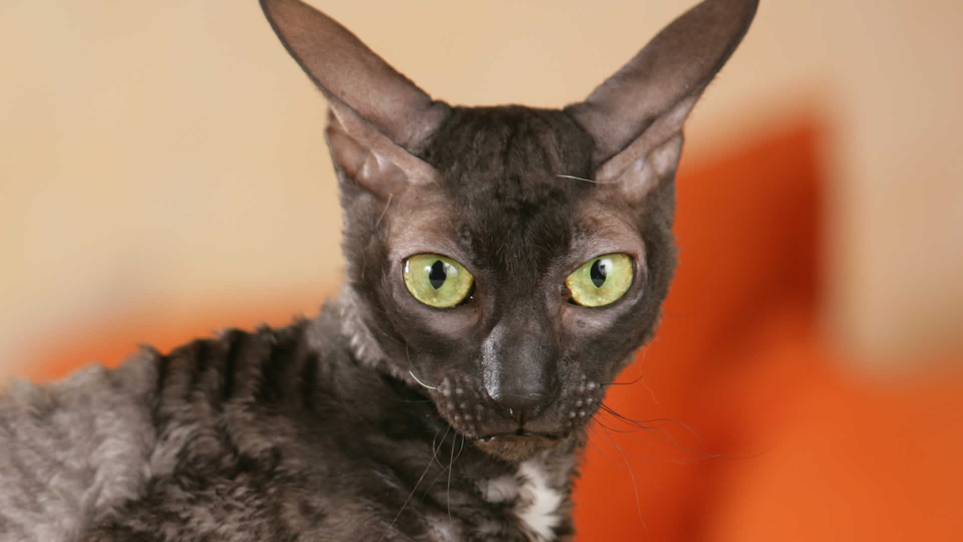 One of the possible eye colors for the Cornish Rex is golden yellow