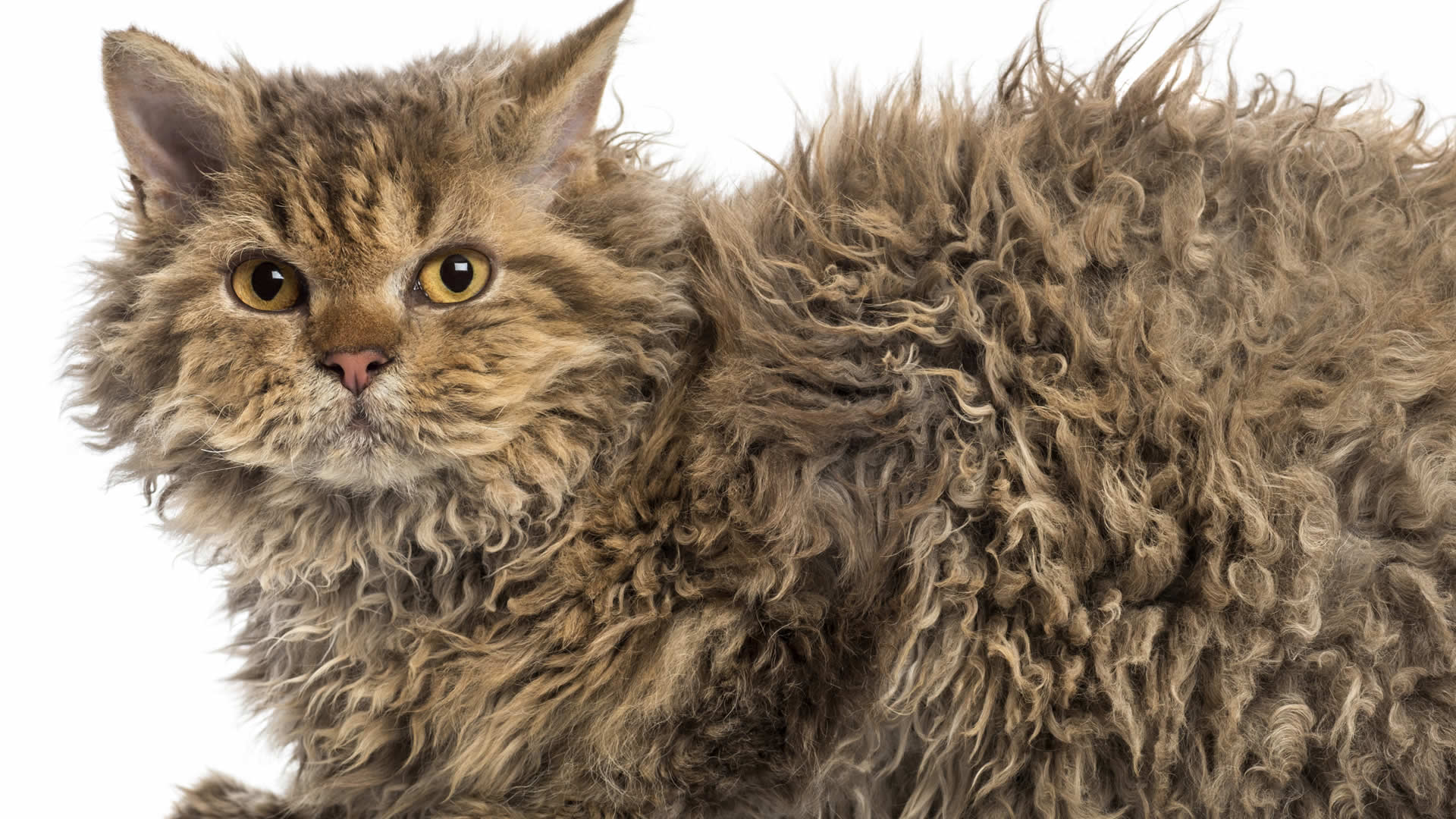 Selkirk Rex cat can appear larger due to its long stunning curly fur