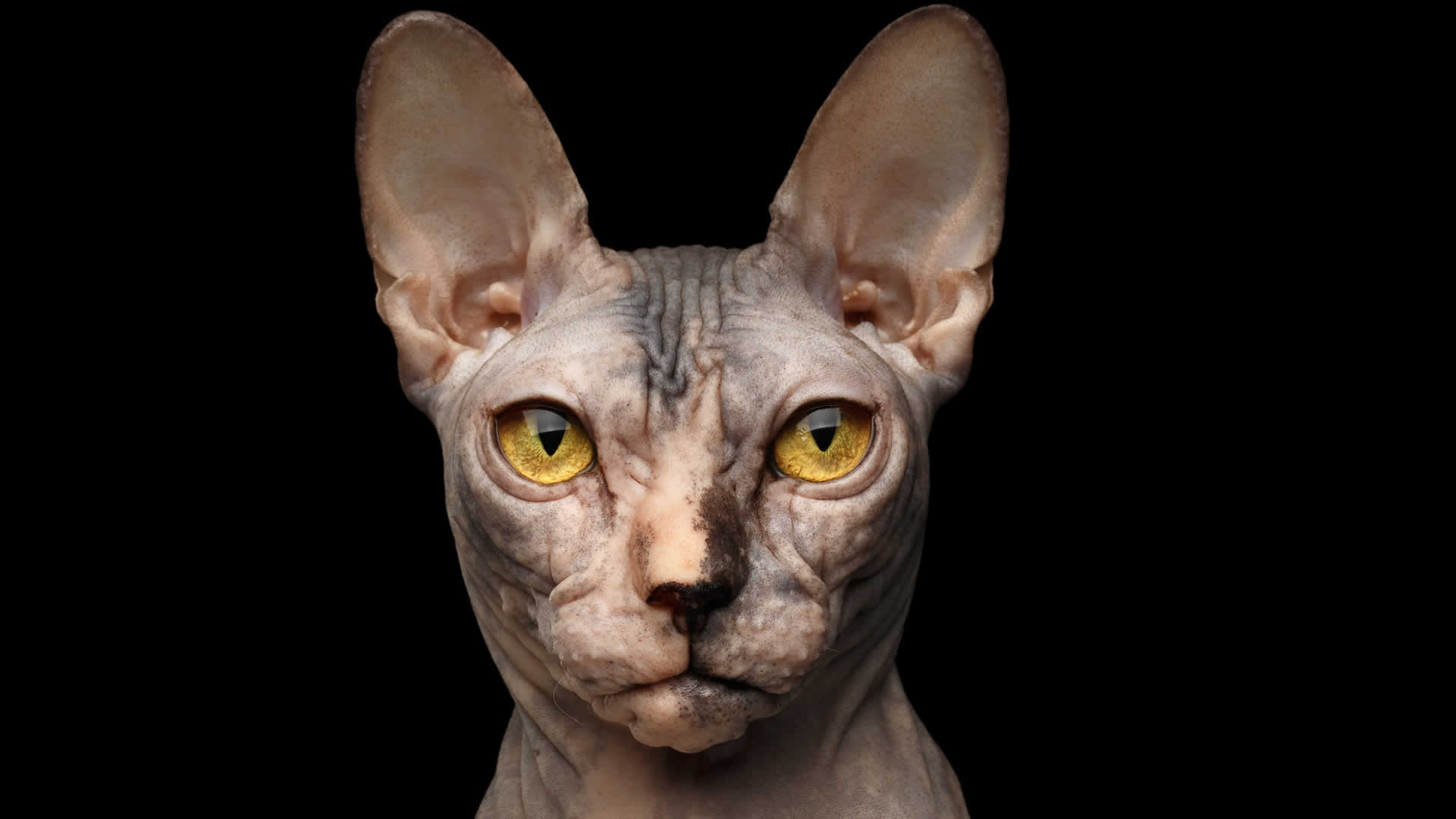 Sphynx cats stunning eyes come in a range of colors including bright yellow and gold