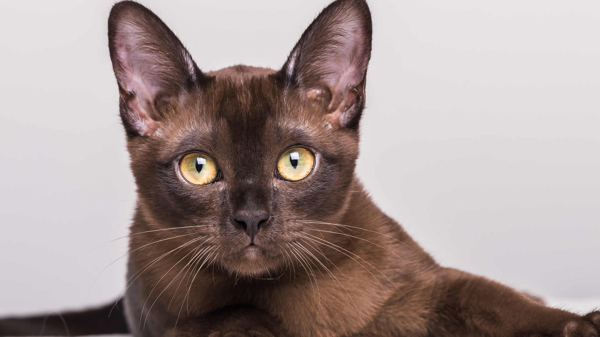 The Burmese is an elegant breed that is easily recognized for its stunning golden yellow eyes