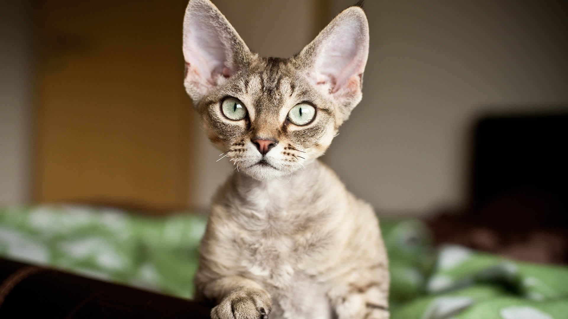 The Oregon Rex cat is the only extinct breed of domesticated felines