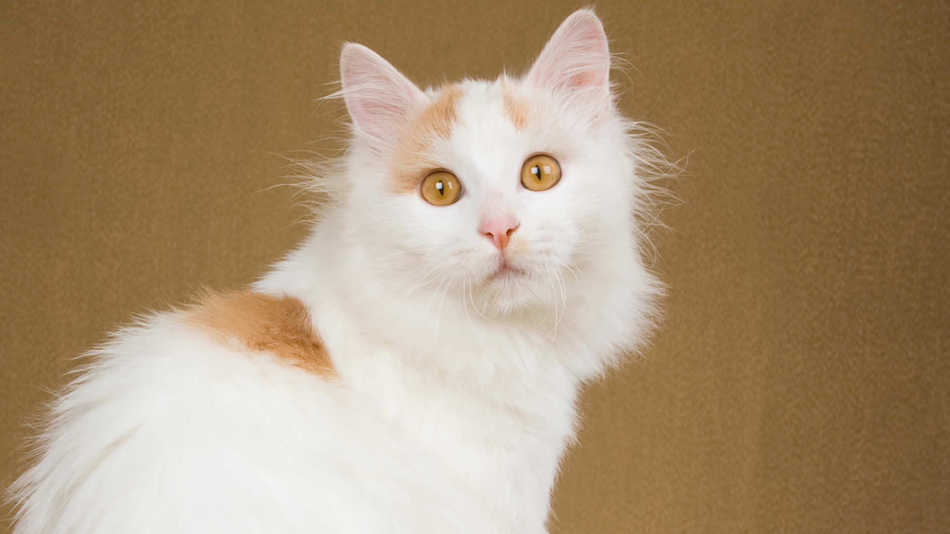 The Turkish Van can only have two eye colors – either yellow or blue