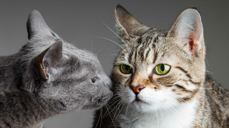 Can a Cat Be Allergic to Another Cat