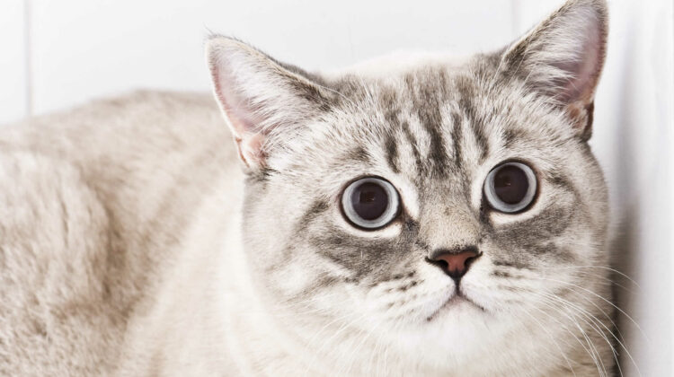 Disoriented Cat with Dilated Pupils