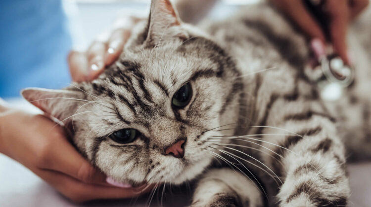 Do Cats Purr When They Are in Pain